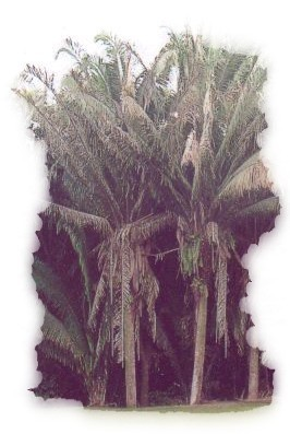 Corozo Palm Tree