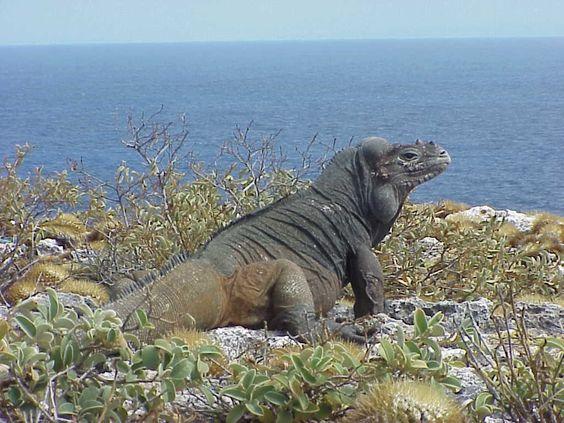 iguana isla mona